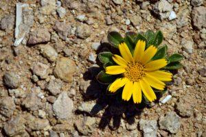 une fleur qui pousse dans un environnement hostile